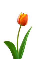 Bright flowered tulip