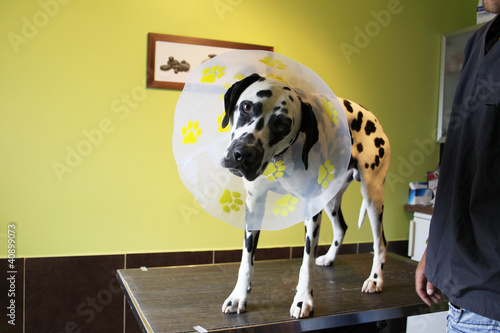 chien dalmatien rigolo avec sa collerette photo libre de droits sur la banque d 39 images fotolia. Black Bedroom Furniture Sets. Home Design Ideas