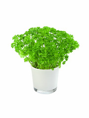 Kitchen herb parsley in a pot
