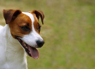Portrait Jack Russel Terrier