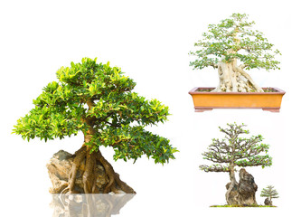 Japanese Evergreen Bonsai on Display white background