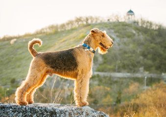airedale terrier Wall mural
