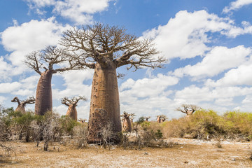 Baobab trees and savanna