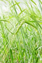 Green wheaten field