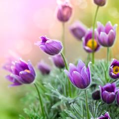 Wall Mural - Purple Spring Flowers