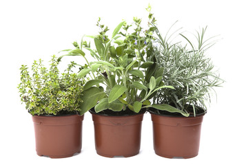 Three herbs, sage , cary, and oregano in the pots