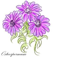 Purple Osteospermum Daisies
