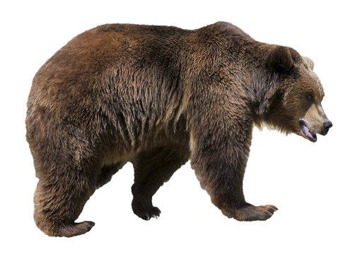 Isolated brown bear (Ursus arctos)