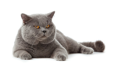 British shorthair cat on a white background. Wall mural