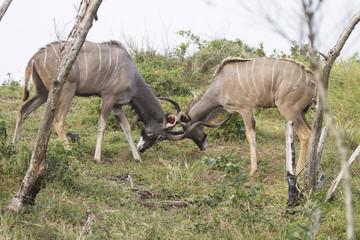 Fighting Kudu's