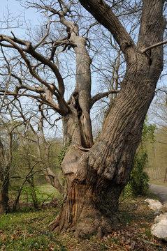 Vernouillet, old trees in rue du Bois de l Aulnay
