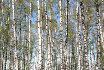 Garden Poster Birch Grove Spring landscape with long blossomed birches in forest