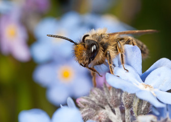 Male Mining Bee on Forget-me-not Flowers
