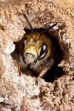 Hairy-Footed Flower Bee i Burrow