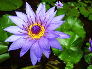 Ninfea Fiore Viola-Purple Lily Flower