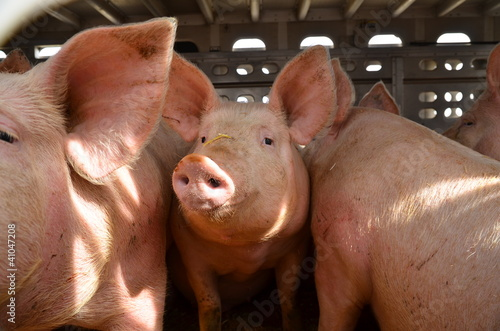 Pigs transport