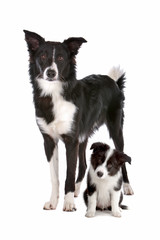 Border collie adult and puppy