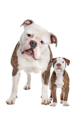 American Bulldog Adult and puppy