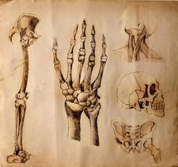 Vecchi disegni di anatomia ( parti del corpo )