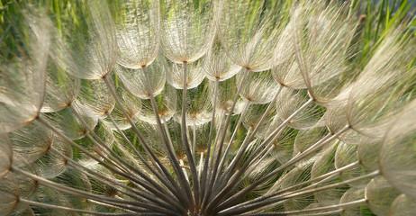 Canvas Prints Dandelions and water Dandelion Seeds in Backlit for banner