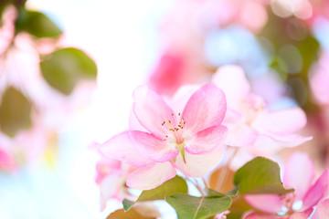Sakura flowers blooming