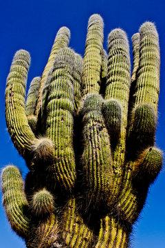 Cactus gigante