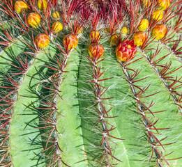 Cactuses in Lanzarote, Spain Echinocactus grusonii