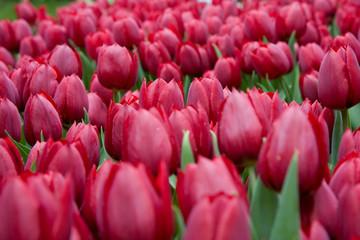 Quadro di tulipani