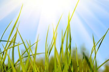 Fresh green grass, sky and sun