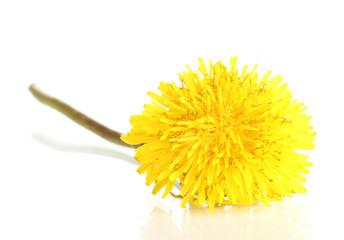 Dandelion flower isolated on white