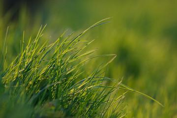 Gras #037334
