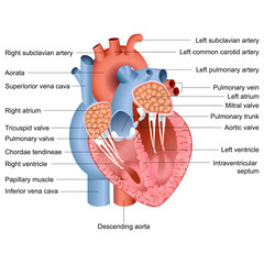 Vector Heart Anatomy