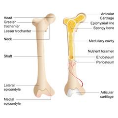 Vector Bone Anatomy