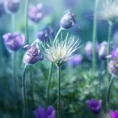 Wall Mural - Pasque Flowers in the Morning Light