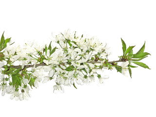 spring cherry flowers isolated