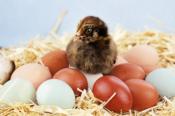 Araucana Chick sitting on top of fresh farm eggs.