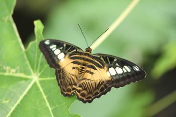 Butterfly, clipper, Parthenos sylvia