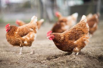 Photo sur Plexiglas Poules Closeup of a hen in a farmyard (Gallus gallus domesticus)