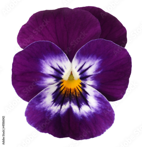 Violett blue white pansy isolated on white background stock photo violett blue white pansy isolated on white background mightylinksfo