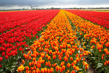 field of tulips near Kaukenhof