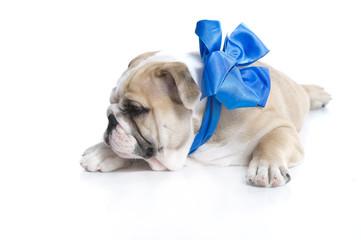 English bulldog puppy with blue ribbon isolated