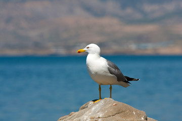 seagull on stone