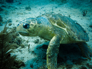 Loggerhead turtle on coral reef in Caribbean
