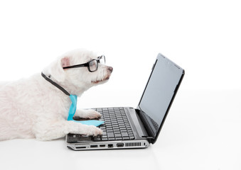 Wall Mural - Savvy dog using a computer laptop