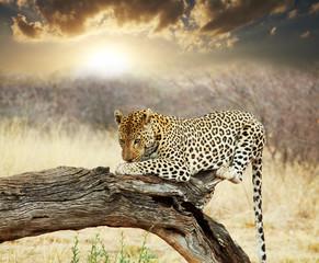 Leopard - fototapety na wymiar