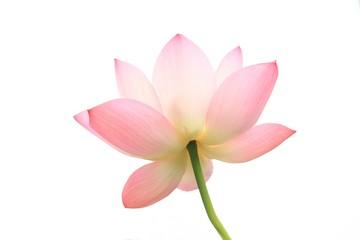 Garden Poster Lotus flower ハスの花