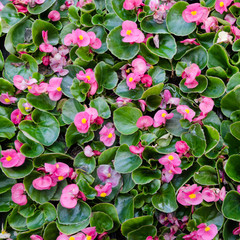 Pink Begonia plants