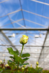Closeup of a yellow rose inside a greenhouse