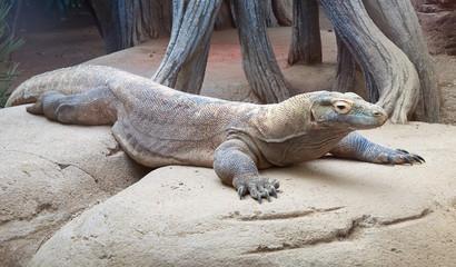 Lizard monitor