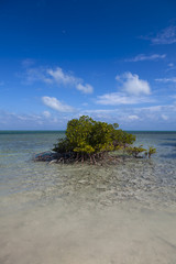 mangrove tree grows on beach at biscayne nation park